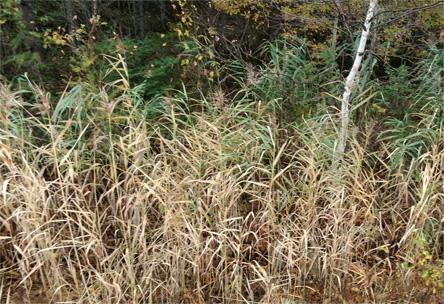 Roseau commun, Phragmites australis, contrôle, plantes indésirables, destruction