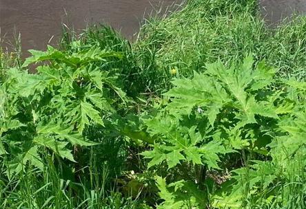 Berce du Caucase, Heracleum mantegazzianum, contrôle, plantes indésirables, destruction