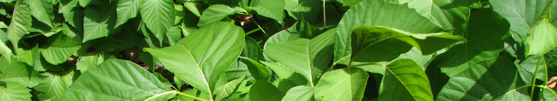 Plante indésirable, plante envahissante, herbe à puce, contrôle