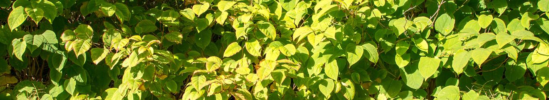 Plante indésirable, plante envahissante, renouée Japonaise, bambou, contrôle